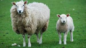Nombre para oveja