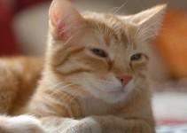 Nombres para gatos rubios que son populares