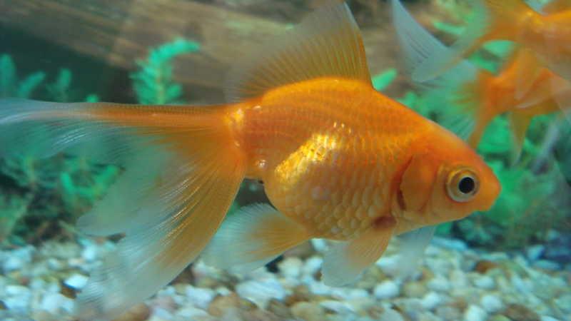 nombre para peces naranjas que son populares nombres