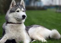 Nombres de Siberian Husky