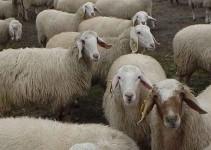Nombres de razas de ovejas lecheras