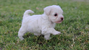 Nombres para perros raza french poodle