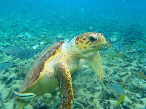 curiosidades-de-las-tortugas-marinas