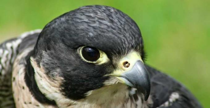 Nombre de aves rapaces