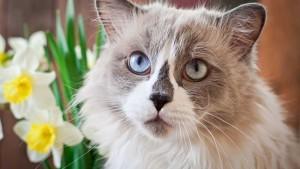 Razas de gatos de pelo largo