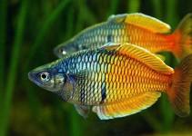 especies de peces tropicales