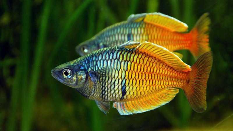Nombres de especies de peces tropicales de acuario for Clases de peces de acuario