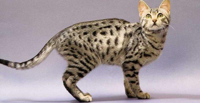Nombres de razas de gatos pequeños