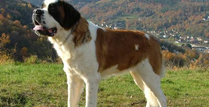 razas de perros mas inteligentes san bernardo