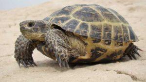 Nombres de tortugas terrestres y sus caracteristicas