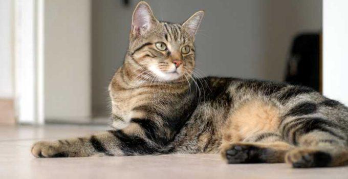 Razas de gatos amigables y sus caracteristicas