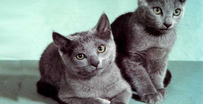 Nombres de razas de gatos de pelo corto