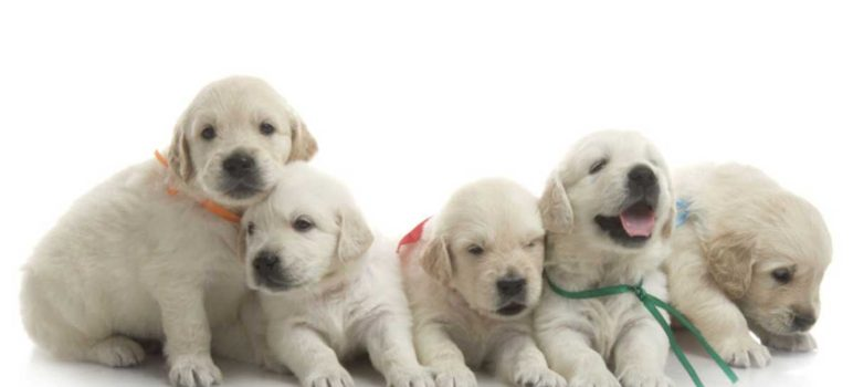 perros-machos