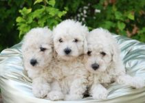 Nombres perros caniches